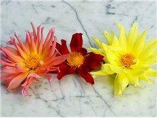 flower garden, cacti, dahlias, flower dahlia, 2014 garden, cut garden, dahlia plant, cactus flower, lemon yellow