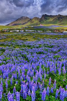 Field of Lupins - Town of Vik, Iceland