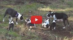 Watch this Family of Boston Terriers with their Puppies All Playing Outside Together for their First Time! → http://www.bterrier.com/?p=5615 - https://www.facebook.com/bterrierdogs