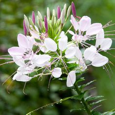 Easy Flowers to Grow from Seed. Also Mock orange with an intoxicating fragrance