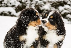 winter snow, mountains, puppies, anim, bernese mountain dogs, winter wonderland, bernes mountain, little dogs, kisses