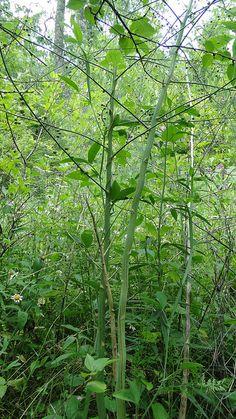 Wild asparagus! #cincymuseum #asparagus #plant