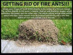 Kill Fire ants using soda!