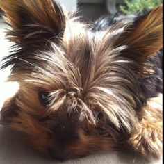 """Lilly"" Yorkshire Terrier puppy sunbathing on the first day of Spring 2012!"