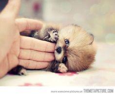 Pomeranian puppy. oh my god! It's soo frikin cute!!!!!!! can i have it!!!!!!!!