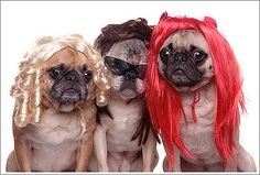 too cute-- pug fashion !!!  i need some of these wigs!!