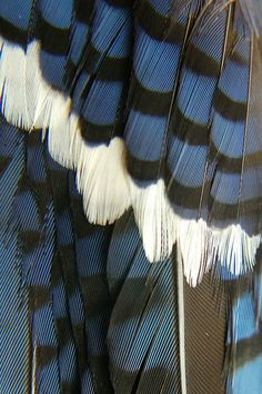 A close look at a Blue Jay's glorious feathers by jungle mama, via Flickr