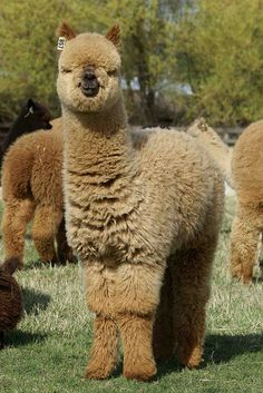 alpacas so cute n fluffy ;)