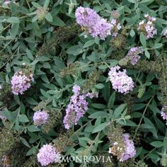 Lo & Behold® Lilac Chip Summer Lilac -D- full sun - 1.5-2.5Hx2-2.5W