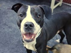 TO BE DESTROYED 8/29/14 Manhattan Center -P My name is TRAVIS. My Animal ID # is A1010106. *** HELPER DOG *** **$150 DONATION to the NEW HOPE RESCUE that pulls! See URGENT for details!** I am a male black and white pit bull mix. The shelter thinks I am about 2 YEARS  I came in the shelter as a STRAY on 08/11/2014 from NY 10460, owner surrender reason stated was STRAY.  https://www.facebook.com/Urgentdeathrowdogs/photos/a.611290788883804.1073741851.152876678058553/855704204442460/?type=3&theater