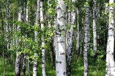 5 Trees Every Survivalist Should Know