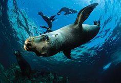 Sport Diver Magazine has rated La Isla Espiritu Santo near La Paz, Baja California Sur, Mexico as one its 'Top 6 Dive Sites for Thrilling Big-Animal Encounters.'