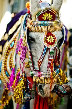 Wedding horse...all dressed up for a wedding.  The groom rides this horse in the Marriage Parade.