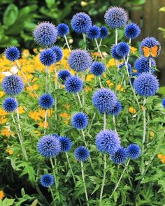 blue echinops, they look like blue billy buttons!