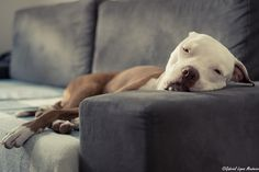 This is what Edith looks like 90% of her life. Watch out for those dangerous (-ly lazy) pit bulls!!