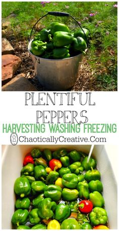 Harvesting Washing and Freezing Peppers