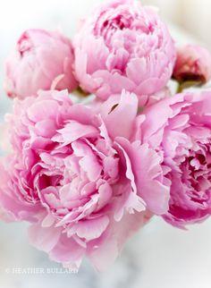 pink flowers, plant peoni, garden, floral, pink peonies, planting peonies