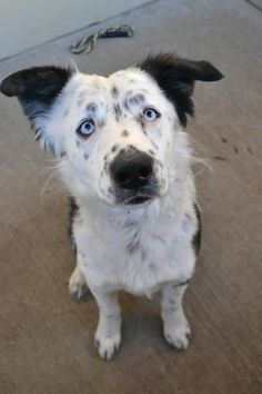 Adoptable border collie mix available in McKinney, TX. Perfect mix of playful and sweet, sits when getting petted, gives kisses, great on leash.