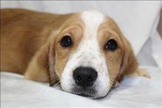 Dixie is an #adoptable Dachshund Corgi mix Dog in #Nicholasville, #KENTUCKY