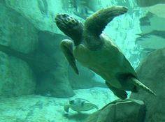 photo Margaret Buschler    the Vancouver Aquarium helped rear endangered loggerhead sea turtles
