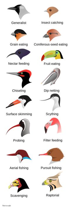 Feeding adaptations in beaks.  When identifying a mystery bird, the shape of the beak will tell you a lot about it's lifestyle. Looking at the conformation of the body and the shape of the wings will also give a good indication as to what that bird has evolved to do (catch fish / bugs etc).