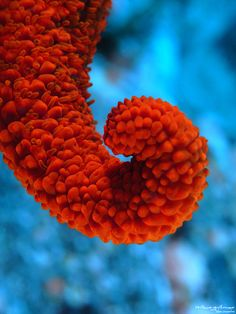 Red Spiny Sea Star
