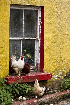 . cottage chic, window, color, rooster, garden, hen