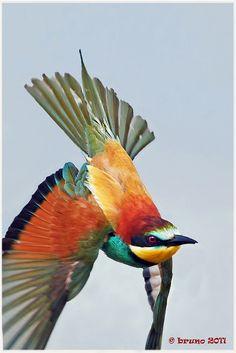 Gruccione / Merops apiaster by Bruno Furlan