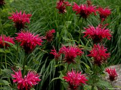 Bee Balm Herb Uses and Medicinal Properties