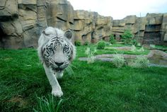"""Kumar"" White Bental Tiger in Zoo, Erie, PA; photo by Greg Wohlford"