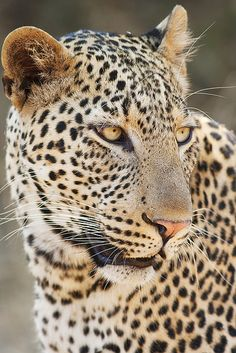 'Those eyes' - Female leopard in South Luangwa National Park, Zambia.