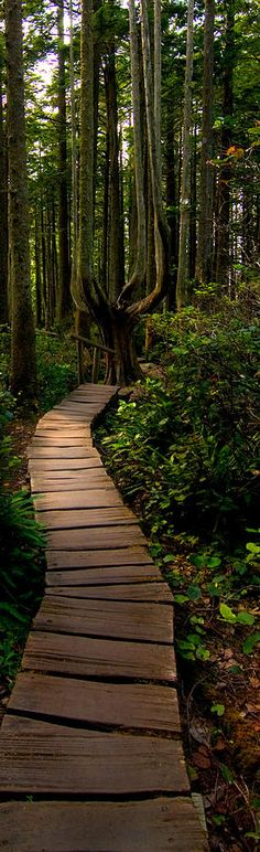 travel   america the beautiful - plank walkway in olympic national park - northwest washington - photo by kevin felts