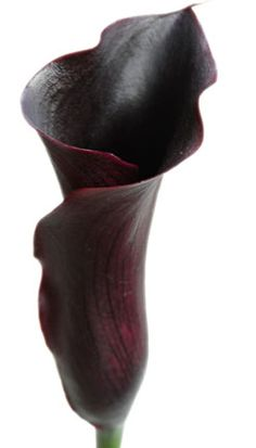 Though not 'true black' (rather a very deep purple or maroon), black calla lilies are closer to black than any other 'black' flower.