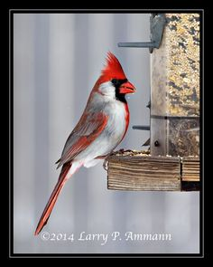 Gynandromorph Cardinal - Has both male and female plumage.