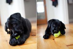 belov black, balls, anim, black beauti, lab puppies