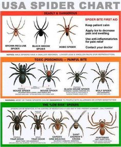 Here is a great spider information chart that you can download and use to identify spiders with. Remember some people are allergic to spiders and spider bites.