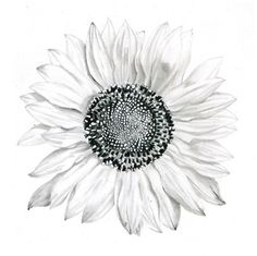 Four individual prints of a transformation drawing- Sunflower to pocket watch