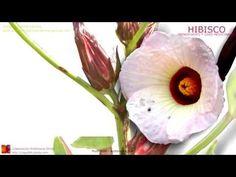 Hibisco. Nombre científico. Identificación, contenido y principios activos. Características generales de la planta y flor de jamacica (Hibisco) Propiedades medicinales atribuidas. Usos de la flor de hibisco. Beneficios. Hibiscus sabdariffa L. Rosa de Jamaica, Cayena. http://www.plantas-medicinal-farmacognosia.com/productos-naturales/hibisco-propiedades/