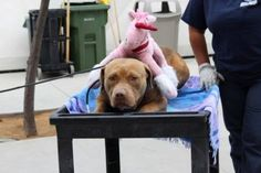 THIS POOR BABY NEEDS OUR HELP.....Pit bull, too scared to walk, pushed on cart with pink stuffed animal  Red is currently housed at the Harbor Animal Care and Control in San Pedro, Calif., where he is so frightened by his situation that he cannot even walk.  http://www.petharbor.com/pet.asp?uaid=LACT1.A1392696 ID#A1392696 Shelter phone: (888) 452-7381 Age 2 yrs Unaltered male pit bull terrier