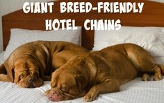 Giant Breed-Friendly