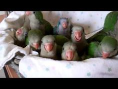 Baby Quaker Parrots Are Excited