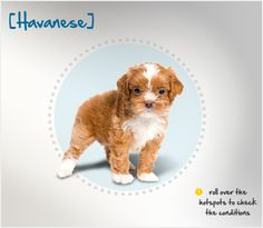 Did you know the Havanese is the National Dog of Cuba, and the country's only native breed? Read more about this breed by visiting Petplan pet insurance's Condition Checker!