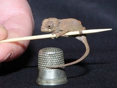 """Kitt B., who found this at Zooborns, writes: """"The chameleon is clinging to a toothpick! Hovering over a thimble!! With not only an adorable nose, but a look of Supreme Disapproval. It's a twofer, how can you resist?"""" PHOTO CREDIT: EXMOOR ZOO"""