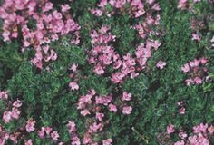 """THYME  Pink Chintz  Thymus serpyllum 'Pink Chintz'  Height:2-4""""  Spacing:10x10""""  Flowers:Tiny, salmon-pink  Blooms:2-4 weeks, starting June  Zone:3-8  Soil:Does well in most conditions  Hardiness:Perennial  Additional Information:  Excellent ground cover or herb garden plant. Great for in between stepping stones."""