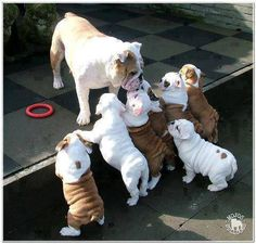 Mother bulldog looking after her puppies, follow the pic for more