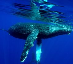 hawaiian water, humpback whale, whale watching, ocean, whalewatch season, place, blog, spot, whales