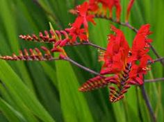 THUMBS DOWN! 05/22/2014 This Crocosmia failed to come back. These are so pretty too! Darn it!