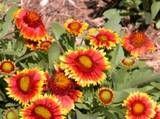 Long blooming perennials