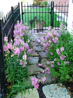 False Dragonhead (Physostegia virginiana) - snapdragon like spikes of clustered pink floweres, multiplies quickly. Miss Manners or Pink Manners doesn't spread as much. Full sun to light shade. 2 - 4 ft tall //aw Spring 2012 $20 (3- in)
