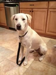Simon is an adoptable Yellow Labrador Retriever Dog in Washington, DC.  Yellow Labrador Retriever, male, 1-year-old, 55 pounds Simon is a young labrador retriever looking for a home! He's a sweet, pla...